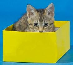 cat playing in box