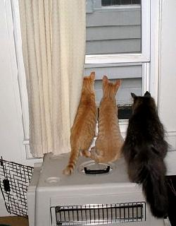 Cats Looking Through Window