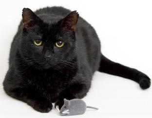 black cat with toy mouse