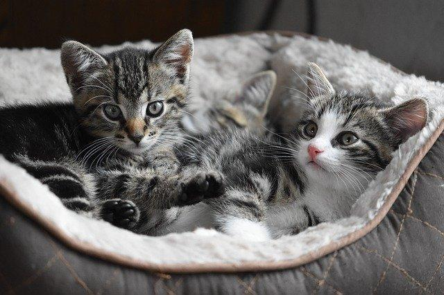 2 gray and white kittens in pet bed